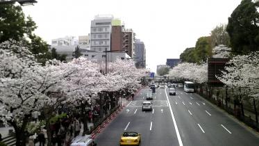 街中桜2014-04
