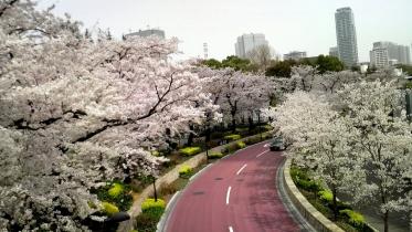 街中桜2014-08