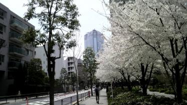 街中桜2014-09