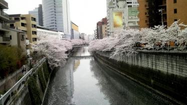 街中桜2014-10