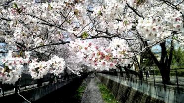 街中桜2014-11