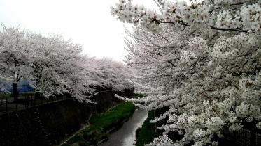 街中桜2014-12