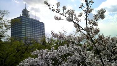 街中桜2014-14