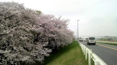 街中桜2014-16