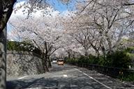 桜並木 (尾張旭) #1