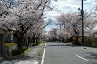 桜並木 (尾張旭) #2