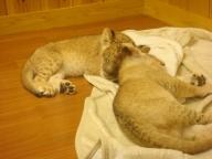 ライオンの赤ちゃん (富士サファリパーク)