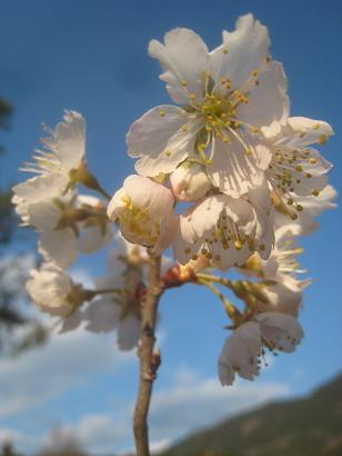 3/22 暖地桜桃