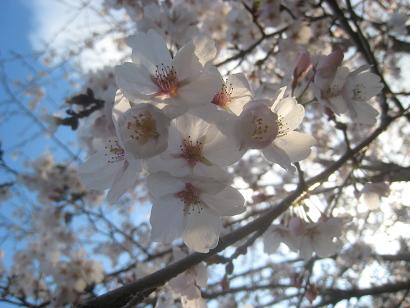 4/4 ソメイヨシノ