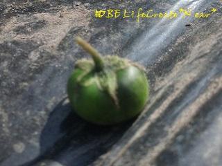 ピンボケだけど、トマトみたい!