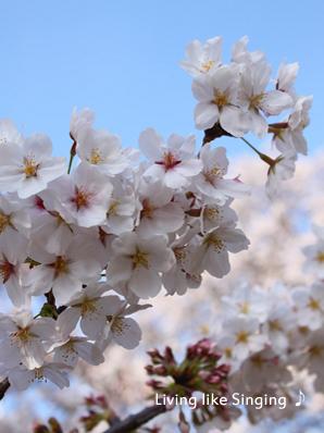 桜2014①