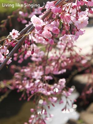 桜2014②
