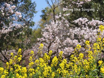 菜の花と八重桜
