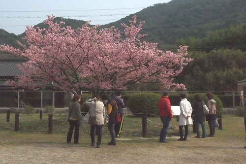 260319 蓬菜桜2