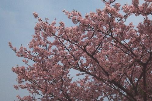 260319 蓬菜桜3