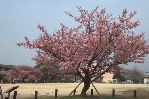 260319 蓬菜桜4
