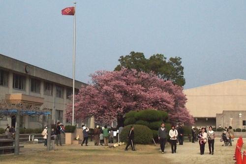 260319 蓬菜桜6