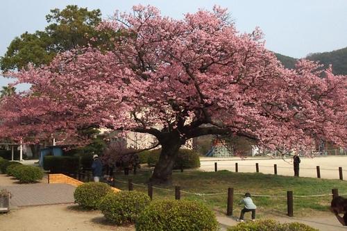 260319 蓬菜桜7