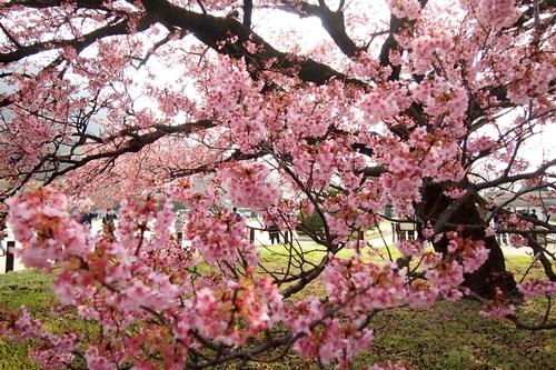 260319 蓬菜桜14