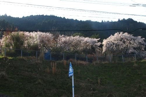 260328 枝垂れ桜1