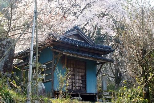 260328 枝垂れ桜3