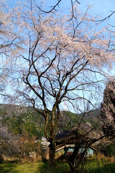 260328 枝垂れ桜5