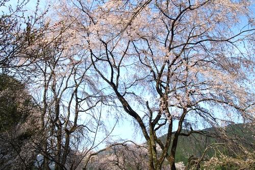 260328 枝垂れ桜2-1