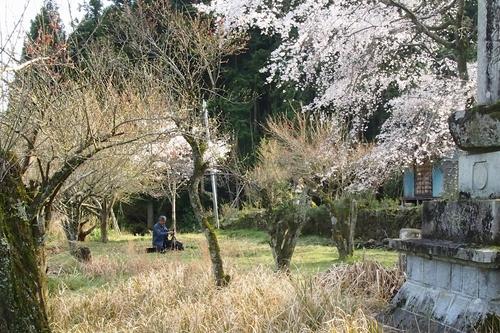 260328 枝垂れ桜7