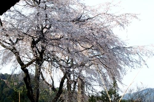 260328 枝垂れ桜6