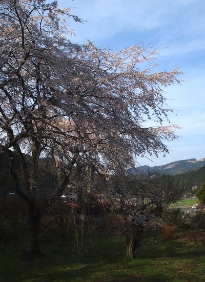 260328 枝垂れ桜10