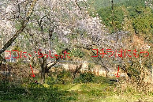 260328 枝垂れ桜9 -1