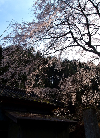 260328 枝垂れ桜11