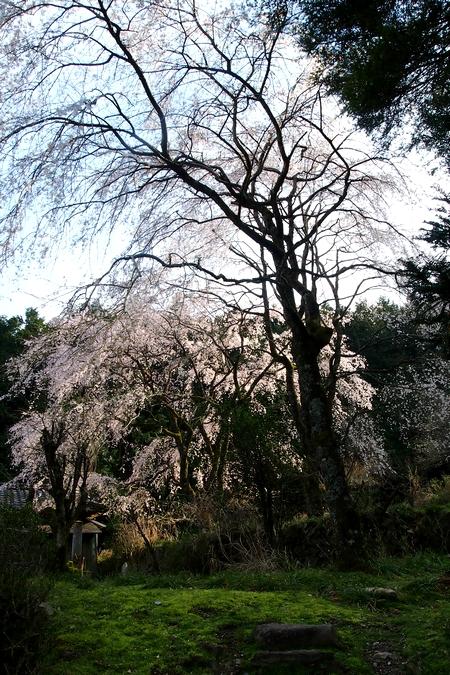 260328 枝垂れ桜12