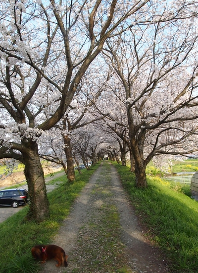 260328 浮羽巨瀬川桜並木1