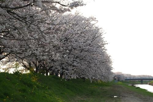 260328 浮羽巨瀬川桜並木3