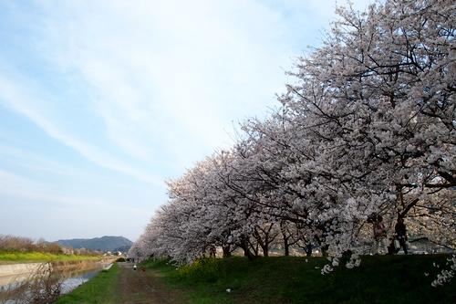 260328 浮羽巨瀬川桜並木2