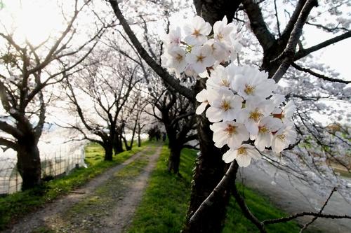 260328 浮羽巨瀬川桜並木5