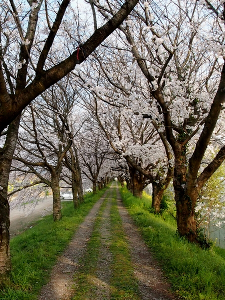 260328 浮羽巨瀬川桜並木6