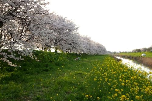 260328 浮羽巨瀬川桜並木8