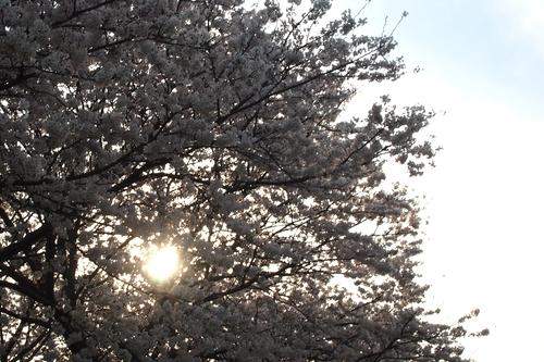 260328 浮羽巨瀬川桜並木7