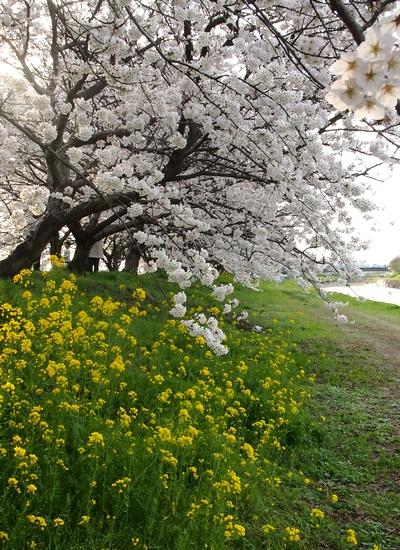 260328 浮羽巨瀬川桜並木9