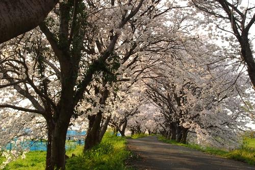 260328 浮羽巨瀬川桜並木10