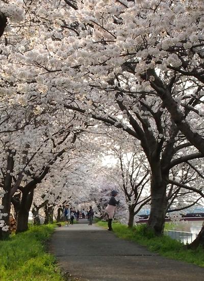 260328 浮羽巨瀬川桜並木11