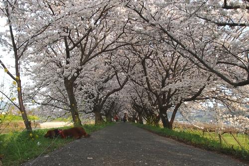 260328 浮羽巨瀬川桜並木12