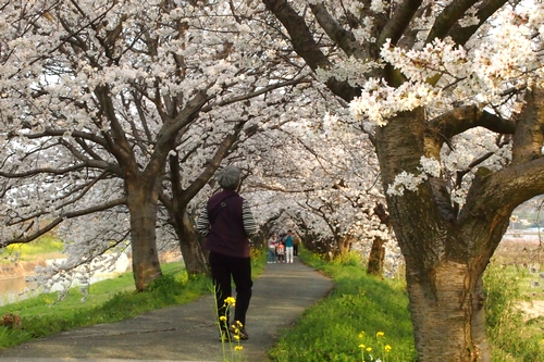 260328 浮羽巨瀬川桜並木15