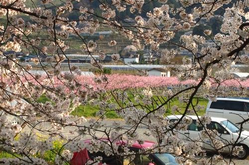 260328 浮羽巨瀬川桜並木14