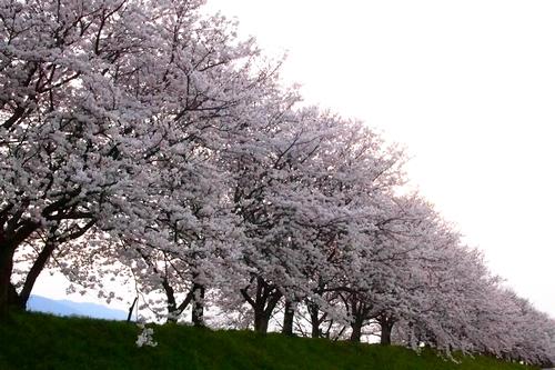 260328 浮羽巨瀬川桜並木22