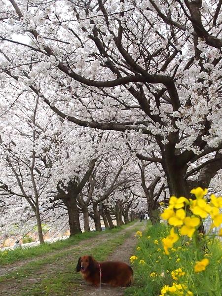 260328 浮羽巨瀬川桜並木25