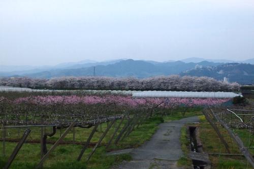 260328 浮羽巨瀬川桜並木24