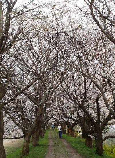 260328 浮羽巨瀬川桜並木16